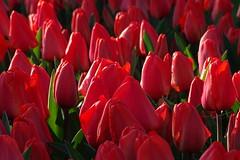 red tulips (JoannaRB2009) Tags: tulips flowers nature closeup red spring dzkie lodzkie d lodz polska poland botanicalgarden dzkiogrdbotaniczny