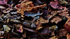 autumn leaves (cristian_vit) Tags: autumn brown leaves
