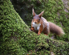 On the Look Out - Red Squirrel (DaisyDeeM) Tags: nature animal mammal woods tail hiding redsquirrel ref bushy