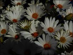 African Daisy (Mabacam) Tags: flower daisy africandaisy osteospermum 2016 capedaisy voltagewhiteosteospermum
