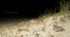Pelobates cultripes (MP7Aquit) Tags: plobate cultripde sable dune landes alpha pelobates cultripes frog toad amphibia amphibian amphibien anoure anoura anura taillless anuro western spadefoot sapo de espuelas nature tailless amphibians 28 macro wildlife sony varliagyviai apo ezproiduna animal animaux ff 24x36 full frame westernspadefoottoad pelobatescultripes plobatecultripde sonya7ii sonya7mk2 sonyalpha7mark2 sonyalpha7ii a7ii 7ii 7mk2 sonyilce7m2 dpartementdeslandes aquitaine rgionaquitaine fe 2470 mm f4 zeiss fe2470mmf4zeiss