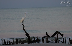 White Egret - Early Morning at the Beach (dbking2162) Tags: white beach nature birds animal florida fort wildlife shore egrets myers