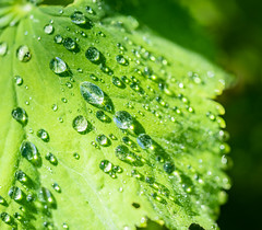 Diamonds made from Rain and Sun (*Capture the Moment*) Tags: green droplets drops bokeh grn tropfen 2016 farbdominanz sonya7ii sonysel90m28g