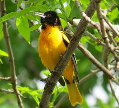 It is a Beautiful Day! (joanspictures1) Tags: minnesota canon wildlife powershot songbirds backyardbirds itisabeautifulday champlin malebaltimoreoriole singinghislovelysongs