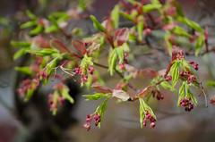 New leaves (Spannarama) Tags: tree green leaves spring blossom bokeh japanesemaple outofmywindow newleaves