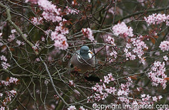 wood pigeon blossom 01 (imagescotdotcom) Tags: urban nature scotland belt wildlife central scottish april lothians midlothian