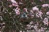 wood pigeon blossom 01 (imagescotdotcom) Tags: urban nature wildlife april lothians midlothian central belt scottish scotland