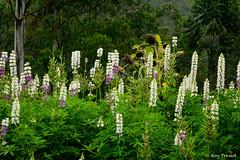 _DSC0928 (Roy Prasad) Tags: flower nature floral garden sony kerala bloom botany prasad munnar rx10 royprasad rx10m2