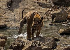 TIG01298GB_1 (giles.breton) Tags: india tiger tigers endangered ranthambhore panthera threatened andyrouse ranthambhorenationalpark pantheratigristigris royalbengaltiger dickysingh