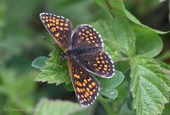 Heath Fritillary butterfly (riggy-riggo) Tags: macro nature woodland butterfly kent spring wildlife insects tamron90mm diffusedflash canon5dmarkll heathfritillarybutterfly deborahrigden riggyriggo debbierigden