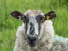 Notch ear (tubblesnap) Tags: old animal countryside sheep farm tag yorkshire ear baa notch