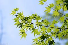 Maple? leaves at Koishikawa Korakuen (shui.sa) Tags: leaves japan garden tokyo maple pentax takumar smc f4 k1 korakuen koishikawa 2016 150mm supermulticoated smct