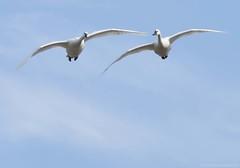 Tundra Swan K (martinaschneider) Tags: ontario bird birds swan flight bluesky aylmer tundraswan