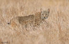 BOBCAT (sea25bill) Tags: california morning sun nature cat wildlife bobcat carnivore lynxrufus