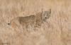 BOBCAT (sea25bill) Tags: california morning sun nature cat wildlife bobcat carnivore lynxrufus