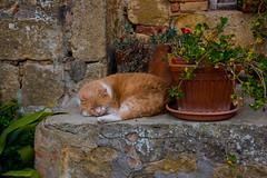 Cat Nap (jfusion61) Tags: flowers sleeping italy cat nikon feline san village tuscany siena dorcia 2470mm quirico d810