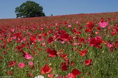 on the hillside (elmar35) Tags: flower japan lens 50mm sony poppy 58mm topcon topcor ilce7r