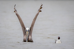 By A Beak (gseloff) Tags: bird texas wildlife galvestonisland brownpelican westbay laughinggull gseloff