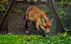 Garden Fox (3) (howell.davies) Tags: uk wild colour nature rain weather animal wales garden nikon wildlife fox hendy d3200 55200vr