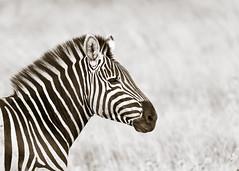 Zebra in profile (Sheldrickfalls) Tags: southafrica zebra krugernationalpark mpumalanga krugerpark kruger plainszebra burchellszebra