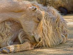 Sleeping goat Sassy (sue2028) Tags: california sleeping rescue animal animals outdoors losangeles furry farm goat goats filter hdr animalsanctuary farmanimals farmsanctuary