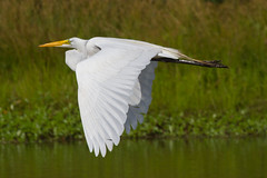great egret 6-26-2016-97 (Scott Alan McClurg) Tags: life blue wild summer portrait sky sun white bird nature water animal fly flying back pond backyard glow wildlife flight bluesky neighborhood landing ardea eat wetlands land algae gliding flapping eatting flap stalk stalking greategret naturephotography glide ardeidae aalba