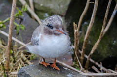 Arctic Turn Chick (phat5toe) Tags: sea nature birds nikon wildlife young chick farneislands arctictern sternaparadisaea d7000 sigma150500