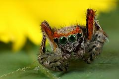 Saitis Barbipes Stack (Little Boy 09) Tags: colors canon lens eos spider jumping super stack slider 17 stacking reversed 50 tamron f28 mag araigne oooo velbon invers 60d tamronspaf1750mmf28xrdiiildasphericalif sauteuse