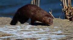 Brown Phantom (Windows to Nature) Tags: mammal mink herricklake specanimal brownphantom windowstonature