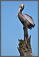 High boy (WanaM3) Tags: tree bird nature nikon texas wildlife ngc pelican stump pasadena canoeing paddling brownpelican clearlakecity mudlake specanimal armandbayou d7100 avianexcellence wanam3 nikond7100 sunrays5