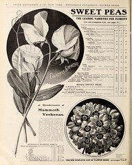 n967_w1150 (BioDivLibrary) Tags: flowers newyork vegetables seeds bulbs newyorkstate catalogs verbena sweetpeas nurserystock nurserieshorticulture mertzlibrarythenewyorkbotanicalgarden seedindustryandtrade bhlgardenstories bhlinbloom bhl:page=45173703 dc:identifier=httpbiodiversitylibraryorgpage45173703 hendersonpeterco stumppwalterconewyorkny