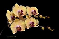 Dtps. Sin-Yaun 'Golden Beauty' (Dtps. James Hall x Phal. Tsuei Yo Beauty) (ACEZandEIGHTZ) Tags: orchid nikon phalaenopsis potw doublefantasy doritaenopsis enchantedgarden floralfantasy dtps d3200 perfectpetals thebeautyofnature flowersarefabulous flickrsawesomeblossoms saariysqualitypictures thebestofmimamorsgroups passionforflowers unforgettableflowers dagmarsexclusiveflowersparadise elisfavoriteflowers cherishyourdreamsandvisions beautifulflowersgroup flowers4you fantasticbeautyofflowers vivalavivaalmaecuore