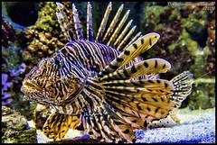 (Dorron) Tags: fish pez aquarium nikon san sebastian country basque urko vasco euskadi donostia pais guipuzcoa gipuzkoa euskal herria arraina sagasti dorronsoro dorron d3s
