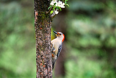 "Red-Bellied Woodpecker on Dogwood Tree • <a style=""font-size:0.8em;"" href=""http://www.flickr.com/photos/29084014@N02/16758765868/"" target=""_blank"">View on Flickr</a>"
