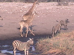Zebra and Giraffe Mingling at Etosha Waterhole