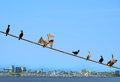 Pelicans on a Rope (Daveyal_photostream) Tags: ocean california seascape bird beach pelicans nature beautiful beauty birds photoshop buildings nikon bluesky longbeach coastline fowl waterscape d600 nikor mycamerabag mygearandme meandmygear