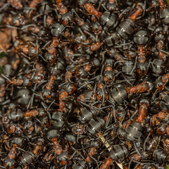 seething... (markhortonphotography) Tags: macro insect heather surrey heath scrub swt heathland surreyheath woodant formicarufa surreywildlifetrust brentmoorheath markhortonphotography