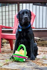 Happy Easter from Champ (14/52) (vmabney) Tags: dog easter lab labrador blacklab champ 52weeks giveusyourbestshot 522015week14 champytheninja