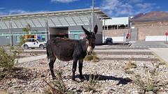 ALMA Donkey