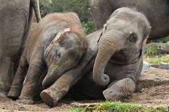 Olifanten Blijdorp (K.Verhulst) Tags: elephant rotterdam blijdorp elephants nl blijdorpzoo olifanten diergaardeblijdorp rotterdamzoo aziatischeolifant asiaticelephants nhilinh