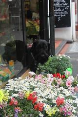 (Tori Taylor) Tags: flowers dog dogs germany giant square deutschland blumen schnauzer florist dusseldorf düsseldorf duesseldorf deutsch blumenhändler