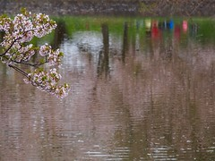 Sakura reflction (murozo) Tags: reflection tree water japan cherry spring blossom 桜 日本 sakura 花 木 yamagata 水 山形 春 tsuruoka 鶴岡 wavelets 反射 お堀 さざなみ