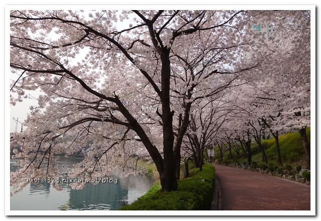 석촌호수벚꽃길11