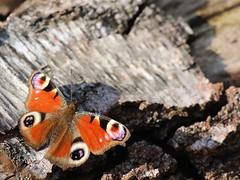 Afternoon stroll (josiejonesj) Tags: england butterfly wildlife peacock