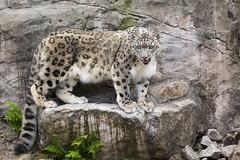 possing assam (Cloudtail the Snow Leopard) Tags: zoo karlsruhe tier animal mammal säugetier katze cat gros raub big snow leopard schneeleopard irbis panthera uncia male assam cloudtailthesnowleopard