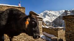 Ghyaru (Alexandre Carpentier) Tags: nepal snow trek canon eagle altitude rando peak 7d neige annapurnacircuit annapurna montain millet npal treking nilgiri pisang manang marpha poonhill tilicho chame annapurnaii machhapuchhre manaslu ghandruk ghorepani thorongla bhulbule landruk westernregion 5416m thorongphedi bluegoats besishahar highmontain diomax