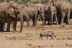 Suedafrika-52 (Lukas P Schmidt) Tags: elephant addo nationalpark warthog elephantpark