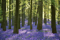 blue paradise (C-Smooth) Tags: wood uk morning flowers blue trees light england nature beauty bluebells forest woodland landscape spring paradise estate walk berkhamsted magical ashridge delightful bellezza blooming