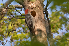 Red-bellied Woodpecker (maractwin) Tags: cambridge birds us unitedstates massachusetts redbelliedwoodpecker watertown mtauburncemetery