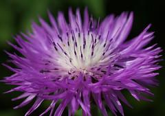 Flockenblume (ingrid eulenfan) Tags: macro nature natur pflanze lila blume makro blte flockenblume